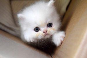 Kitten - kweken van huisdieren